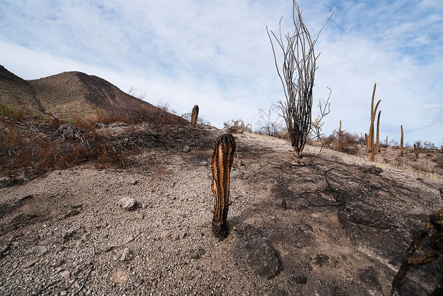 Wildfire: Young Saguaro